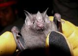 Bat III