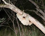 Two Toed Sloth - Perezoso de Dos Dedos