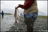 Combat Salmon fishing in Sixmile creek, Hope, Alaska