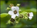 White Flowering Raspberry-color variation
