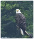 Eagle in rain.