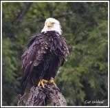 Soaked Eagle.