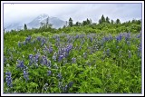 Lupines blooming near Portage Glacier
