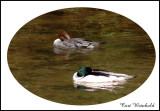 Pair of Common Mergansers, Pine Creek