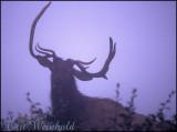 Non-typical elk