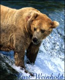 Boar Bear at Katmai NP