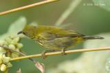 Sunbird, Purple-naped (male)