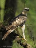Eagle, Changeable Hawk (juvenile pale morph) @ Punggol