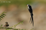 Whydah, Pin-tailed (male) @ Changi