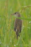 Warbler, Oriental Reed @ Sungei Balang