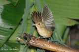 Babbler, Buff-breasted @ Telecom Loop