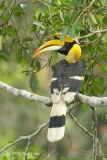 Hornbill, Great (male) @ New Road