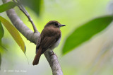 Flycatcher, Chestnut-tailed Jungle @ Rajah Sikatuna National Park