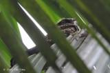 Nightjar, Philippine @ UP