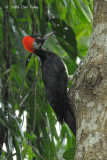 Woodpecker, White-bellied (female) @ Subic