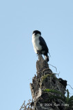 Falconet, Philippine @ Mt Palay-Palay