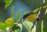 Flowerpecker, Palawan (male) @ Palawan