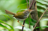 Tailorbird, Common @ SBWR