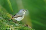 Flycatcher, Little Pied (female) @ Telecom Loop