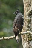 Eagle, Blyth's Hawk @ New Road