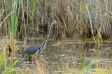 Heron, Tri-colored @ Cape May, NJ
