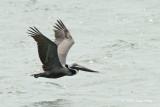 Pelican, Brown @ Chesapeake Bay