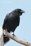 Crow, American @ Cape May, NJ
