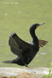 Cormorant, Double-crested @ Central Park, NY