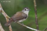 Babbler, Sooty-Capped