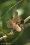 Babbler, Chestnut-rumped (adult & imm)