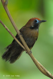 Babbler, Fluffy-backed Tit