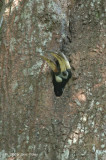 Hornbill, Oriental Pied (female) @ Pulau Ubin