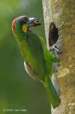 Barbet, Red-crowned