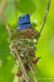 Monarch, Black-naped (male)