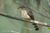 Cuckoo, Malaysian Hawk (juv) @ Changi