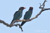 Dollarbird @ Mary River Resort