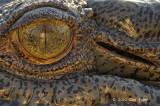 Saltwater Crocodile @ Yellow Water, Australia