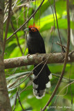 Malkoha, Red-crested @ Subic