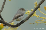 Flycatcher, Little Pied (female) @ Mt. Polis