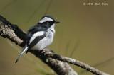 Flycatcher, Little Pied (male) @ Mt. Data