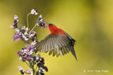 Sunbird, Crimson (male) @ MOG