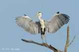 Heron, Grey @ Sungei Buloh