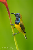 Sunbird, Olive-backed (male) @ Botanic Gardens