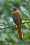Trogon, Philippine (female) @ Rajah Sikatuna National Park