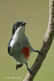Flowerpecker, Red-keeled (male) @ Tabor Hill