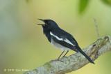 Robin, Magpie (male) @ SBG
