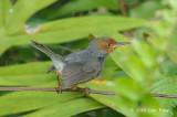 Tailorbird, Ashy (male) @ Botanic Gardens
