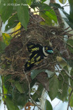 Broadbill, Black-and-Yellow (exiting nest)