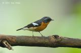 Flycatcher, Mugimaki (male) @ Bukit Tinggi