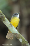 Bulbul, Yellow-bellied